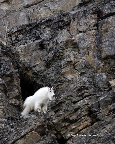 cliff mountaingoats alpinewyoming snakeriverrange jacksonholealpinewyomingmountaingoatalpinewyomingunitedstatesof