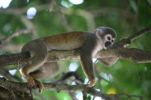 Squirrel monkey -- Photo by Yachana Lodge, Ecuador