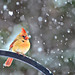 A Snow Bird Too by Jeff Clow