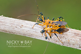 How Assassin Bugs Multiply