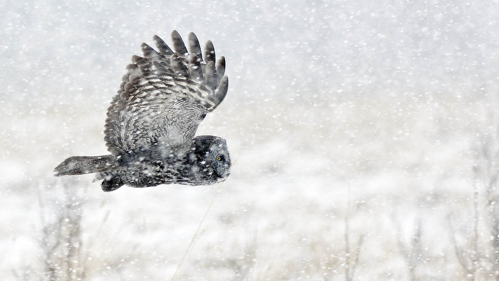 Great Gray Owls in a snowstorm