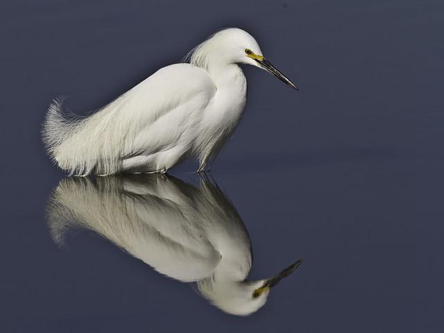 K1) Snowy Egret [Explored]