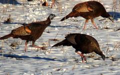 turkey(0.0), animal(1.0), pheasant(1.0), fauna(1.0), fowl(1.0), wild turkey(1.0), bird(1.0), galliformes(1.0), wildlife(1.0),