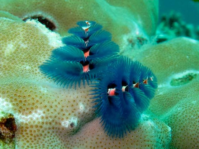 Beautiful Christmas Tree Worms From Around The World Aquaviews