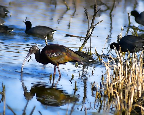 White-faced Ibis and Coots