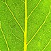 Small photo of Bay Leaf