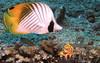 Panda butterfly fish, Sipadan, 2010
