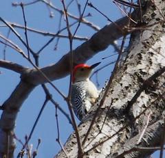 animal, perching bird, branch, fauna, woodpecker, beak, bird, wildlife,