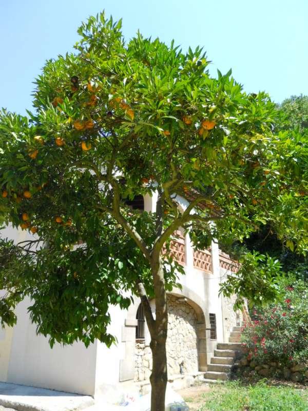 Citrus aurantium v 1
