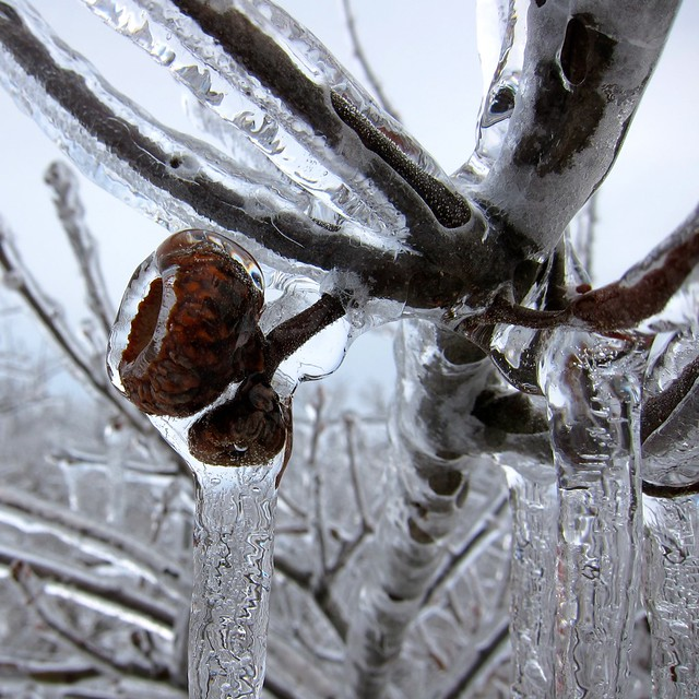 Oak branch and acorn in ice
