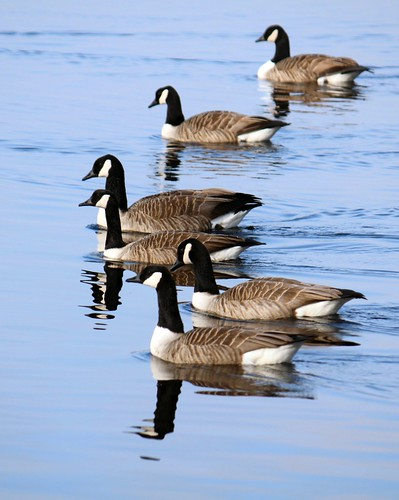 Six Geese a-paddling by nondesigner59