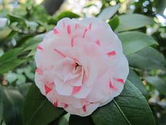 shrub(0.0), rosa 㗠centifolia(0.0), theaceae(0.0), camellia(1.0), camellia sasanqua(1.0), floribunda(1.0), flower(1.0), plant(1.0), flora(1.0), camellia japonica(1.0), pink(1.0), petal(1.0),