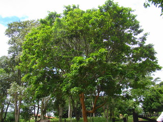 Brazilwood / pernambuco / Pau-Brasil Caesalpinia echinata the red wonder timber