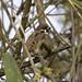 Tree Sparrow (Malcolm Stott)