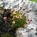 Saxifraga exerata subsp. exerata - Musk Saxifrage (Paul Harmes)