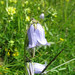 Campanula barbata - Bearded Bellflower (Paul Harmes)
