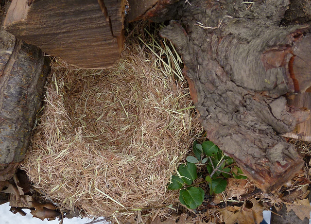 perfect woodrat nest