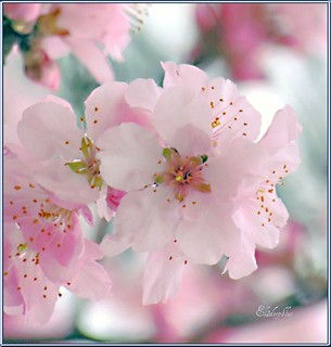 The Beauty Of A Flowering Almond Tree