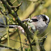 Long Tailed Tit. by Mark Milham.