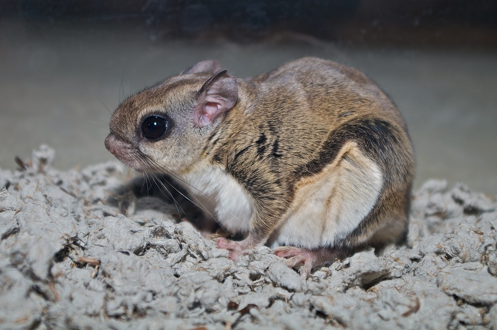 Southern Flying Squirrel (Mammals of Long Island ...