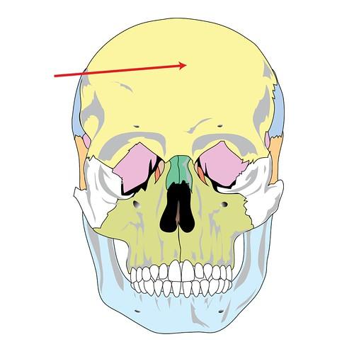 Anatomy Skull bones Flashcards | Quizlet