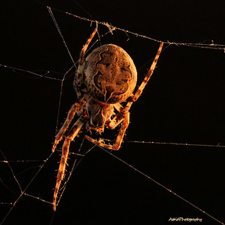 Sunset spider . . . .