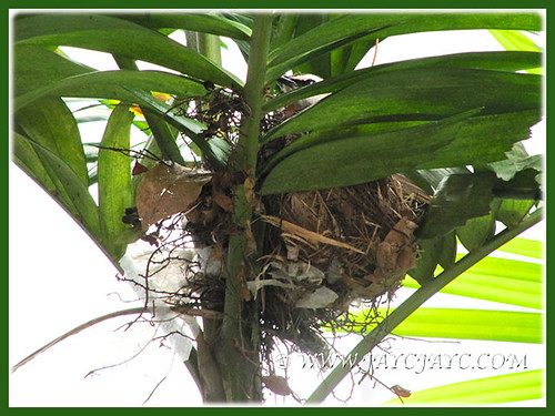 Pycnonotus goiavier (Yellow-vented Bulbul) incubating on its tilted nest, April 2 2014