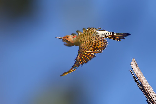 Northern Flicker (Yellow-shafted) ♂