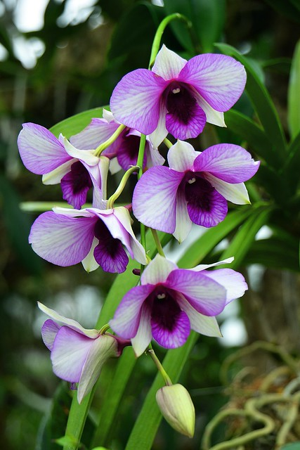 cbg, purple and white tropical orchid flowers 4 4x6 bp