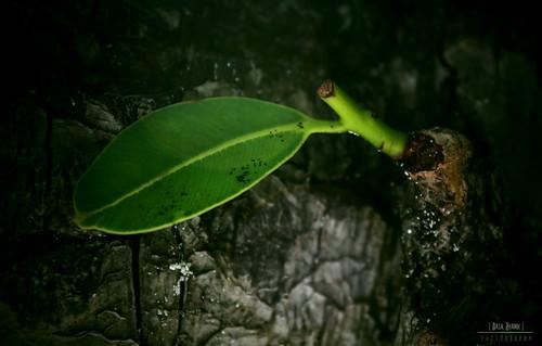 green canon leaf asia maldives izzo eeko saarc canoneos450d easashamih