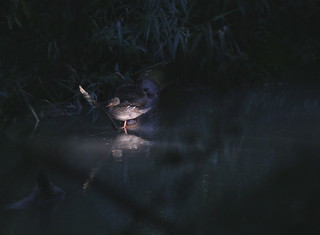 The Duck who came out of the Dark ...OR ... He was one of the Extra's in a Midsummer Night's Dream, singing for Oberon