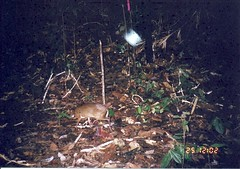 Lesser Mouse-deer