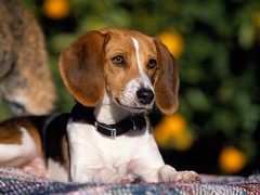 puppy(0.0), basset artã©sien normand(0.0), dog breed(1.0), animal(1.0), hound(1.0), harrier(1.0), dog(1.0), treeing walker coonhound(1.0), english foxhound(1.0), american foxhound(1.0), pet(1.0), pocket beagle(1.0), finnish hound(1.0), hamiltonstã¶vare(1.0), estonian hound(1.0), beagle-harrier(1.0), drever(1.0), carnivoran(1.0), beagle(1.0),