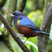 Chestnut-bellied Euphonia (John Caddick)