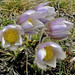 Spring Pasque Flower (Alan Park)