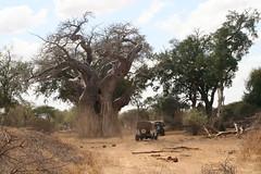 soil, tree, adansonia, rural area, savanna,