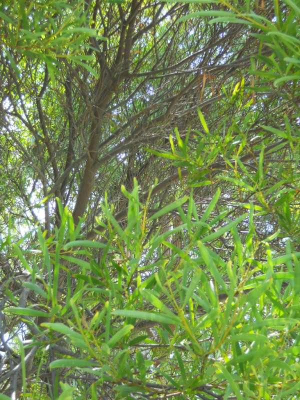 Acacia longifolia v 2