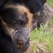 Small photo of Andean Bear