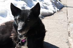 lapponian herder(0.0), puppy(0.0), street dog(0.0), karelian bear dog(0.0), dog breed(1.0), animal(1.0), dog(1.0), pet(1.0), mammal(1.0), wolfdog(1.0), schipperke(1.0),