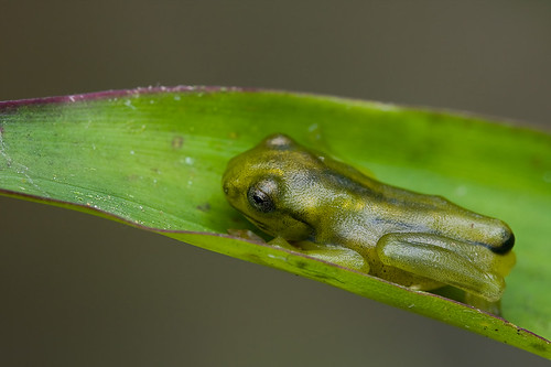 a metamorph Malayan Flying Frog, <i>Rhacophorus prominanus</i> IMG_1668 copy