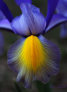 Louisiana Native Iris