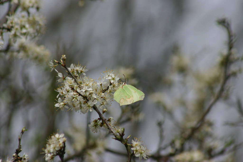 Blackthorn and brimstone