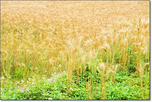 Wheat Farm (29)