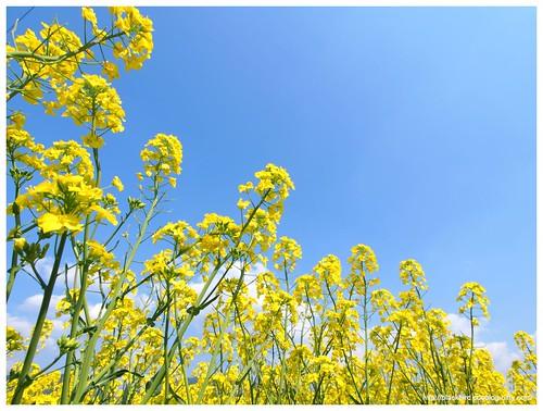 Field mustard $05