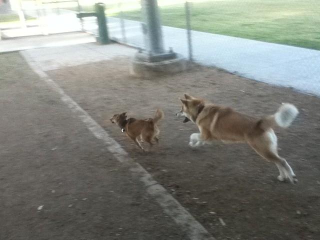 Akita Dog Health Not Eating Sedation