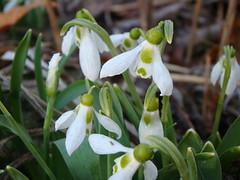 erythronium(0.0), flower(1.0), galanthus nivalis(1.0), flora(1.0),