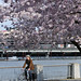 Cherry blossoms in Waterfront Park-3-2