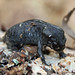 Small photo of Mole Salamander (Ambystoma talpoideum)