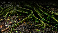Jungle tree roots 2