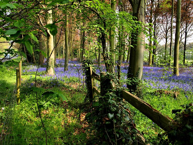 Fence and Bluebells
